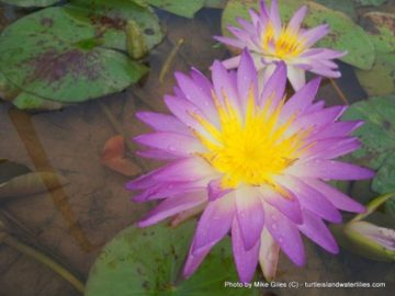 Turtle Island Waterlilies Exclusive Nymphaea 'Garry Wagner' HXT Hardy-Tropical Hardy Water Lily
