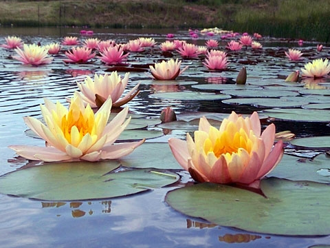 Premium Water Lilies