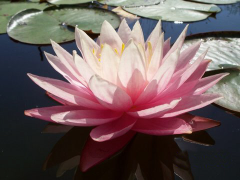 Nymphaea 'Myra' Exclusive Hardy Waterlily 1