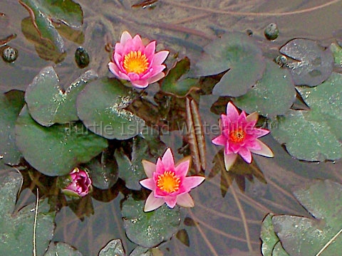 For Small Water Gardens