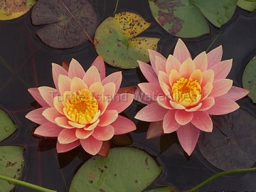 Nymphaea 'Pink Grapefruit' Hardy Waterlily