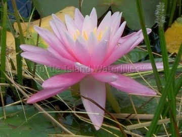 Nymphaea 'Rose Arey Hybrid' Hardy Waterlily