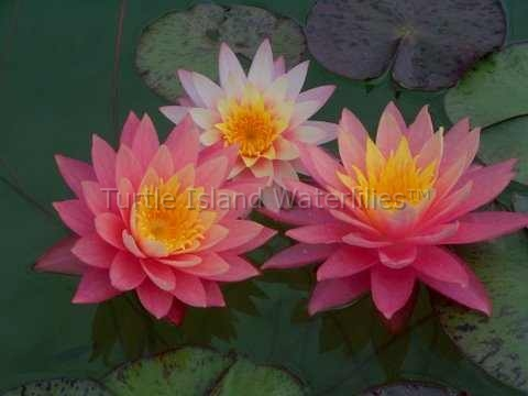 Nymphaea 'Sunfire' Exclusive Hardy Waterlily Water Lily Pond Plant