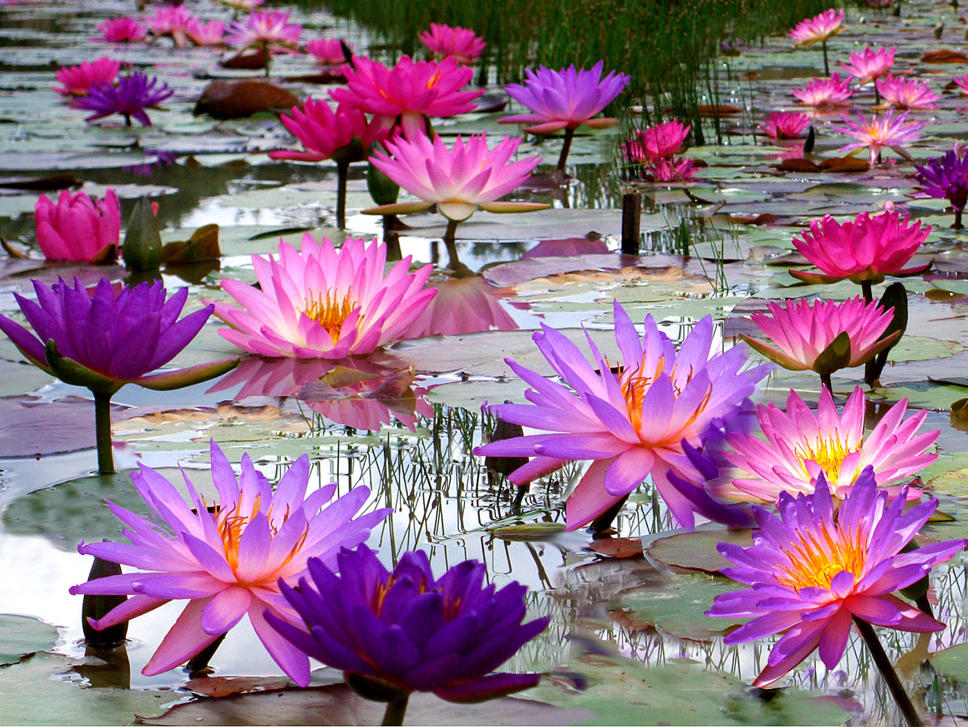 Mike's Exclusive Water Lilies